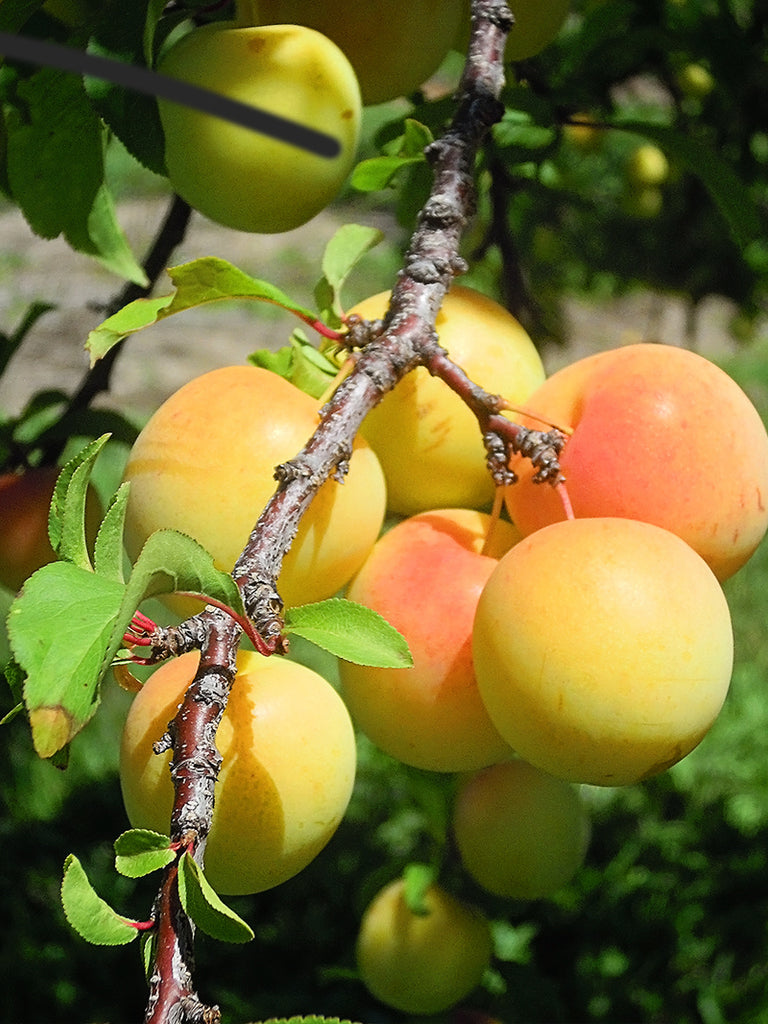 Plum Trees - Gold