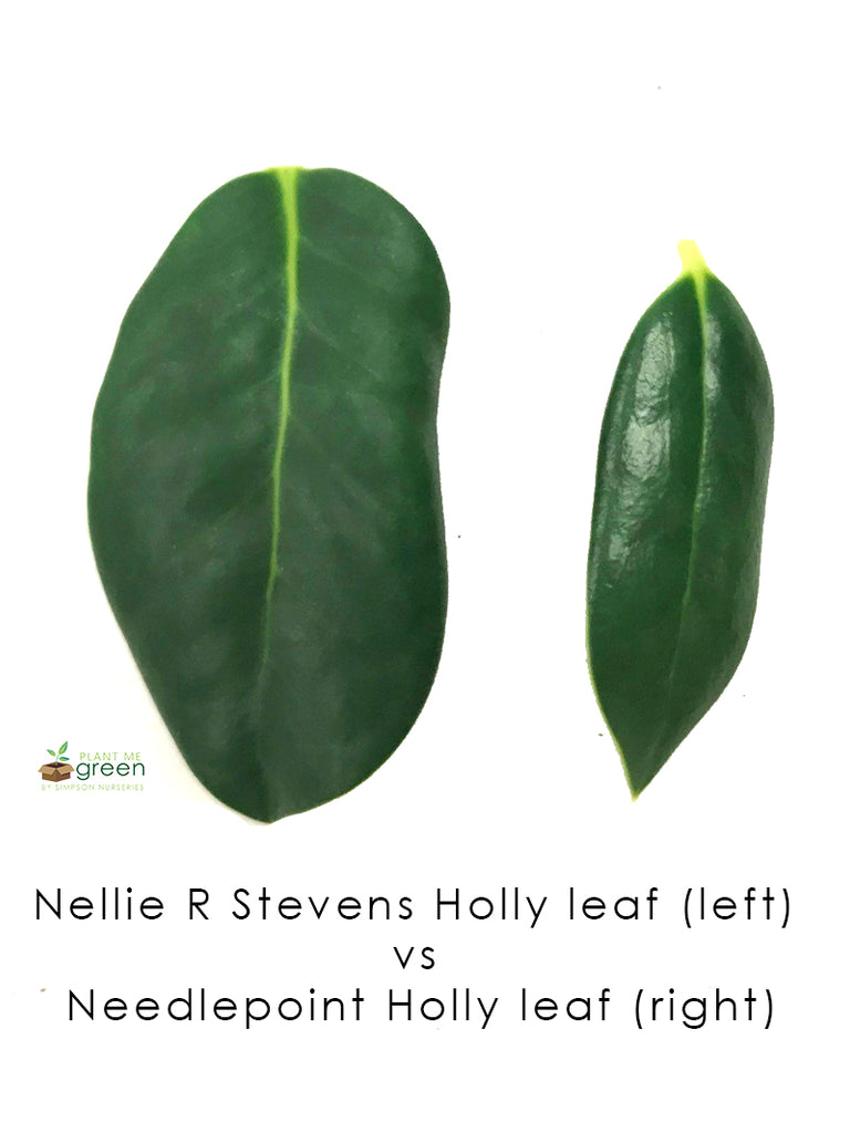 Holly - Nellie R. Stevens