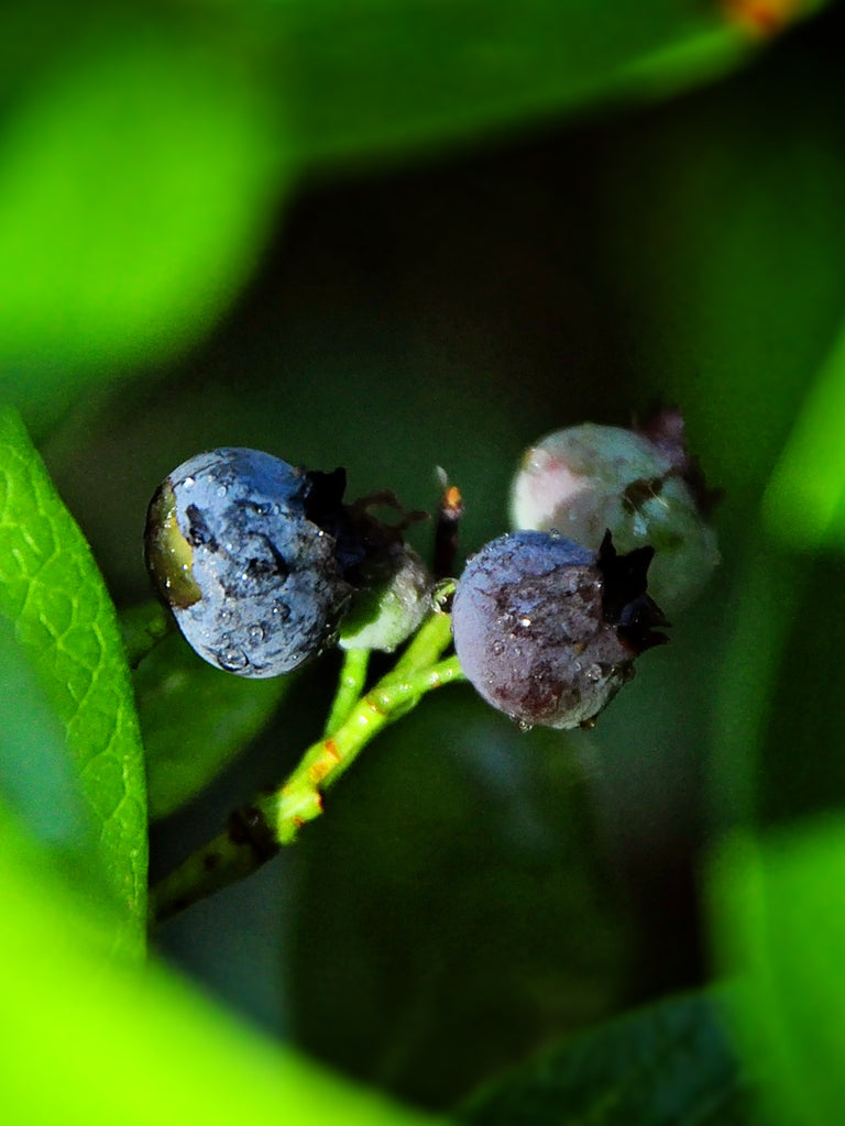 Blueberry - Home Bell (Rabbit Eye)