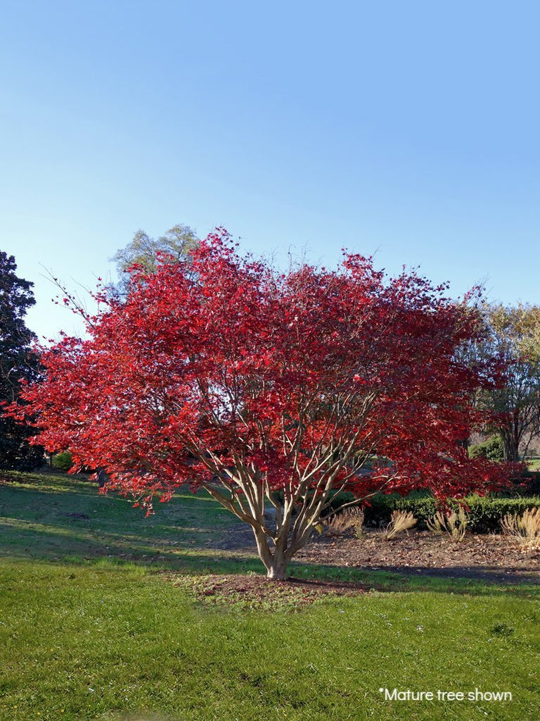 Maple - Japanese Red Bloodgood