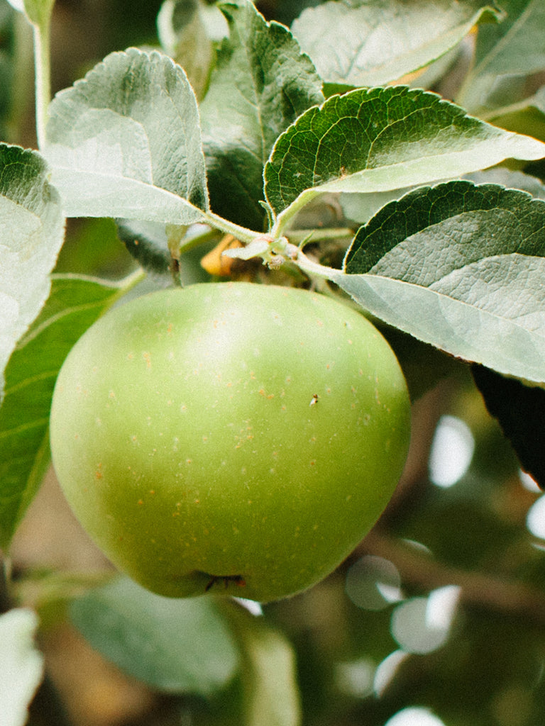 Apple Trees - Johnny Appleseed Authentic™ Apple (Bare Root)