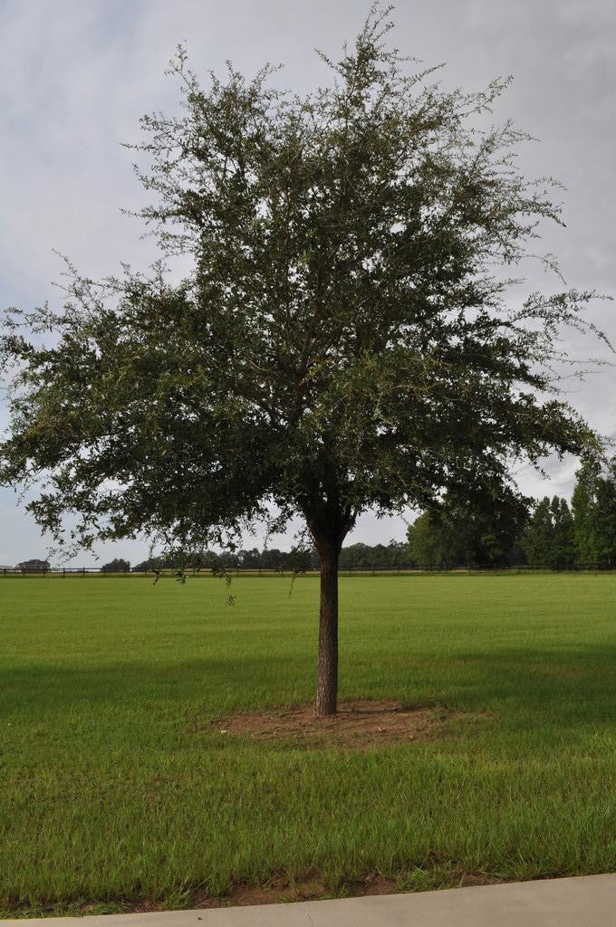 Evergreen | Live Oak Trees