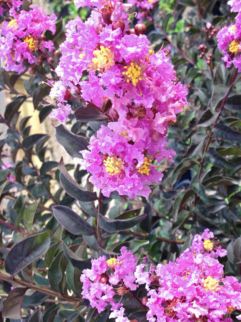 Crape Myrtle - Black Diamond Lavender Lace