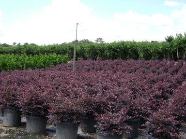 Ruby Loropetalum Evergreen