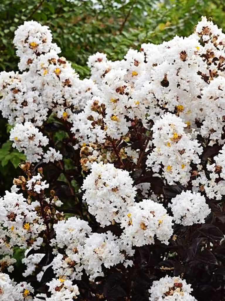 Crape Myrtle - First Editions® Lunar Magic®