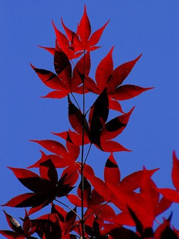 Japanese Red Maple Trees