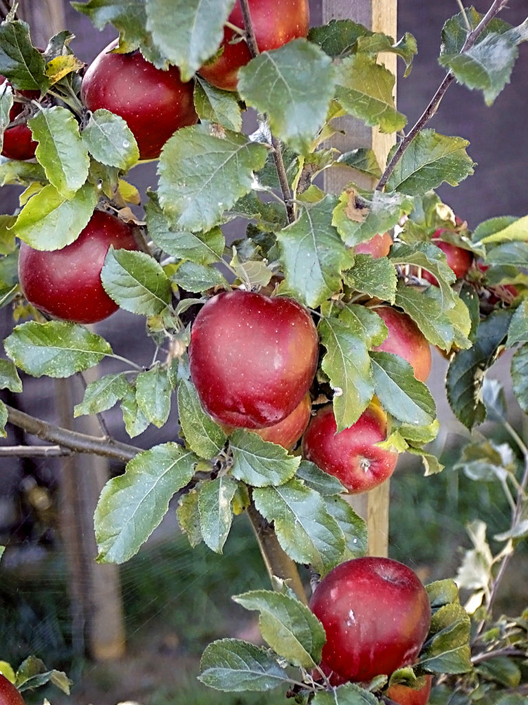 Apple Trees - Melrose (Red)