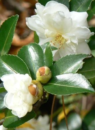 "Camellia Sasanqua - Mine No Yuki ""Snow on the Mountain"""