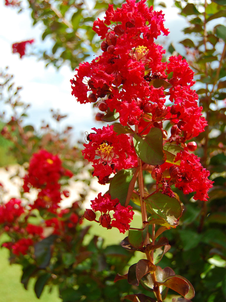 Crape Myrtle Southern Living Miss Francis Plant Me Green