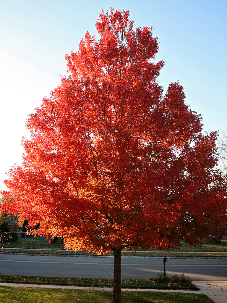Maple - October Glory