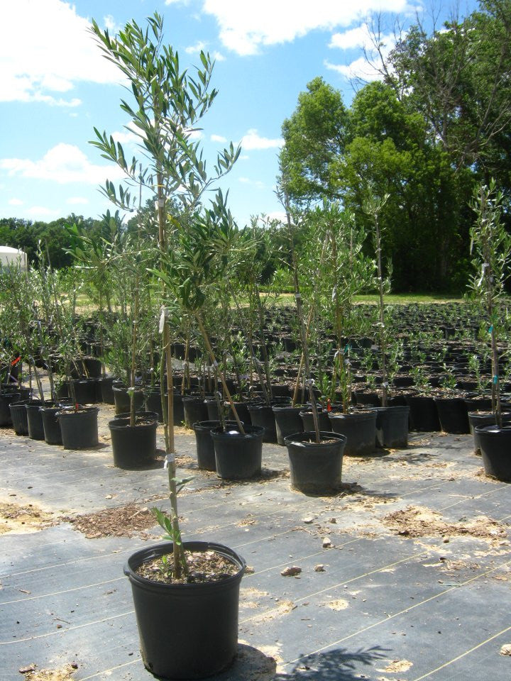 Arbequina Olive Fruit Trees
