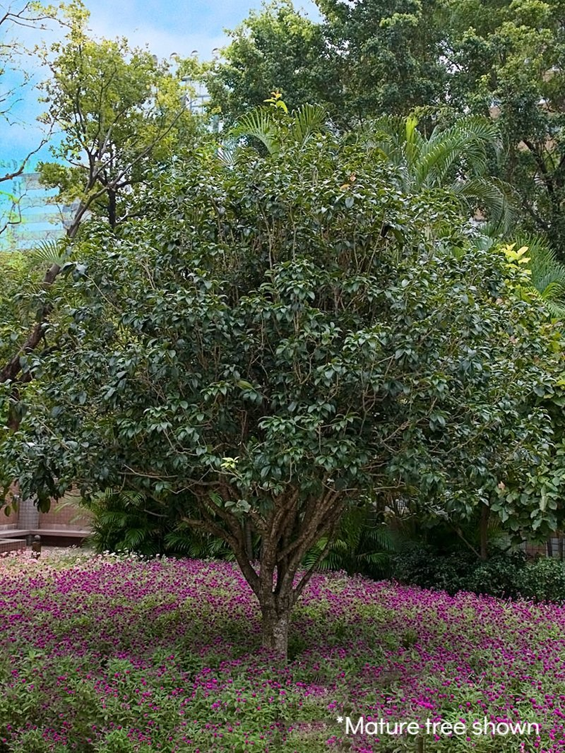 Tea Olive Evergreen Shrub Sweet Olive Flowering Shrub Plant Me
