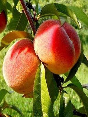 Peach Trees - Big Red