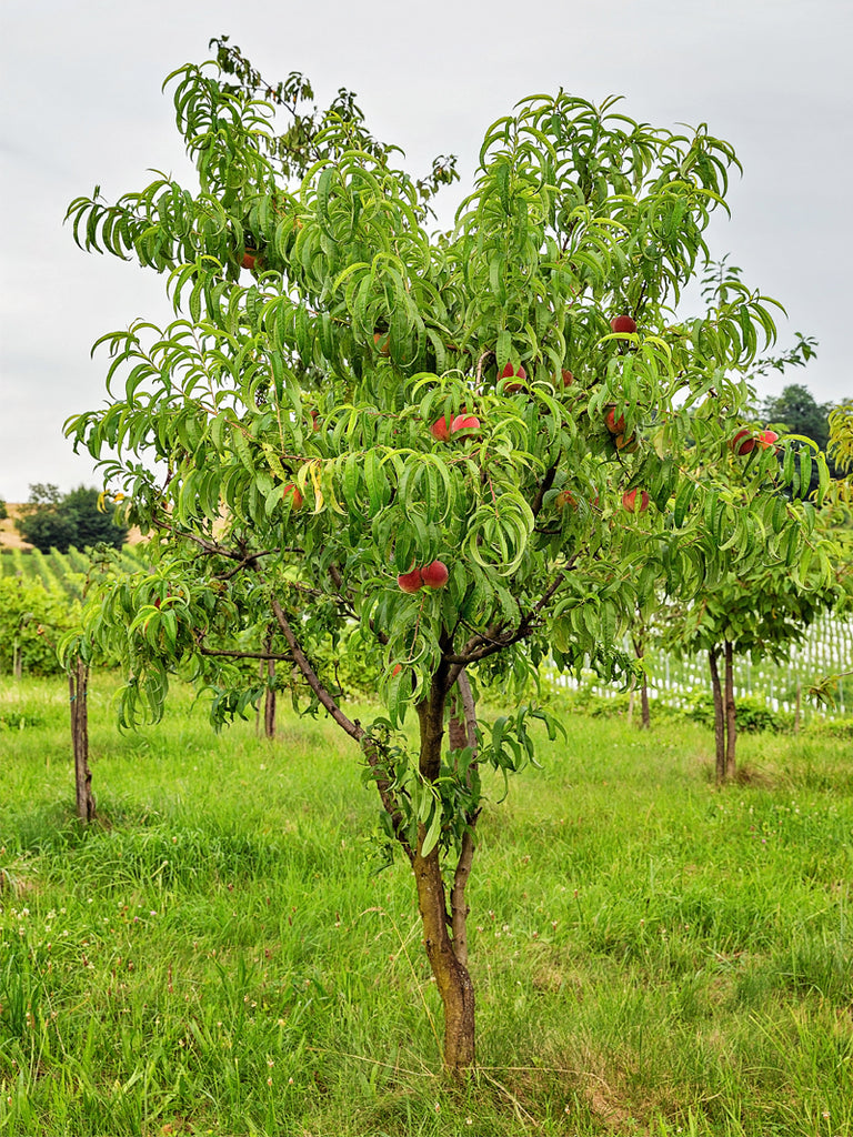 Peach Trees - Early Elberta