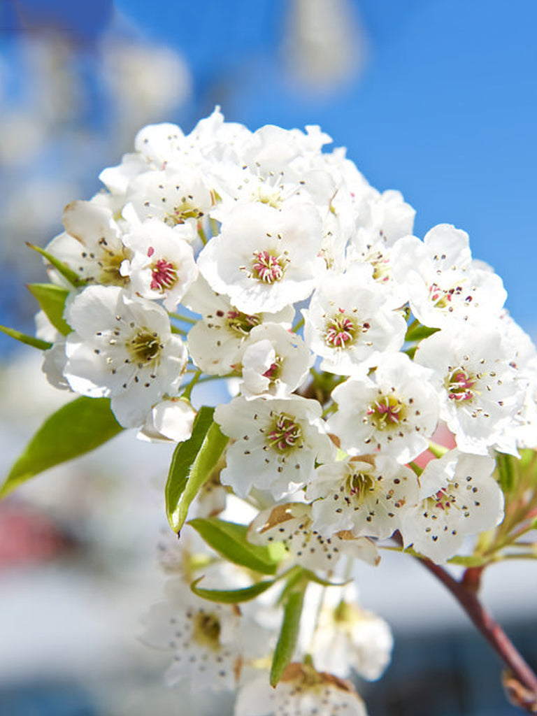 Pear Trees - Cleveland (Flowering)