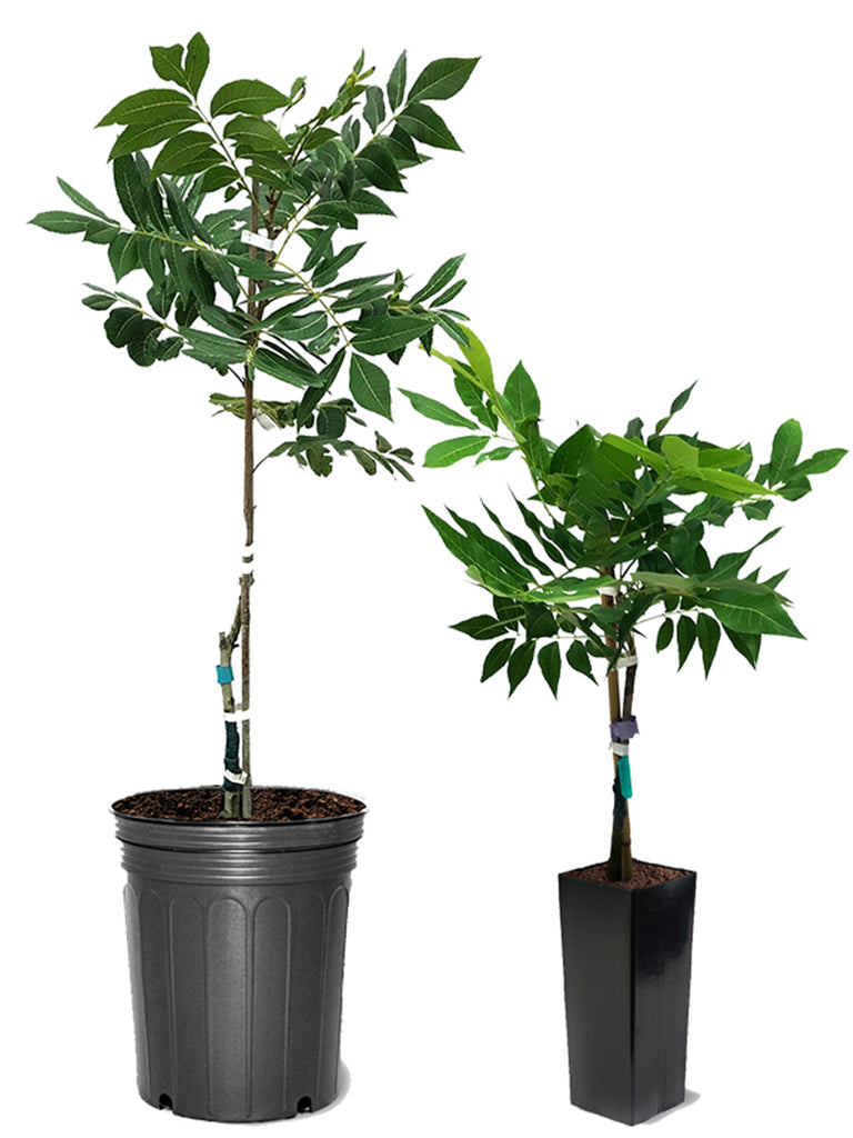 Pecan Trees (Potted) - Elliot (Type 2)