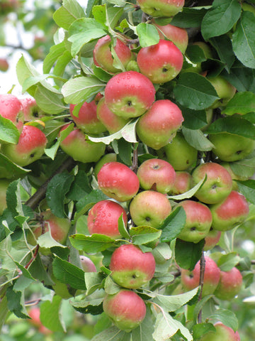 Apple Trees - Pink Lady