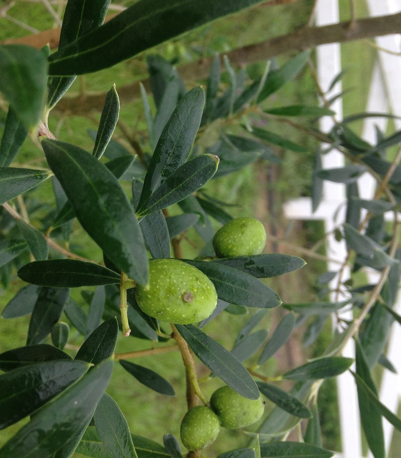 Olive Trees - Arbequina