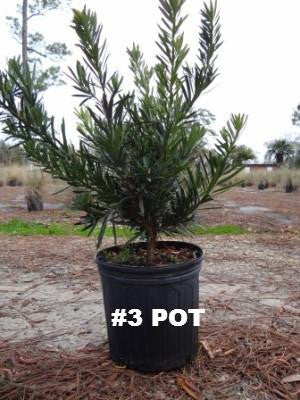 Pringle's Dwarf Podocarpus