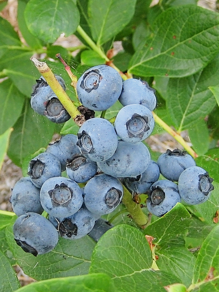 Blueberry - Powder Blue (Rabbit Eye)