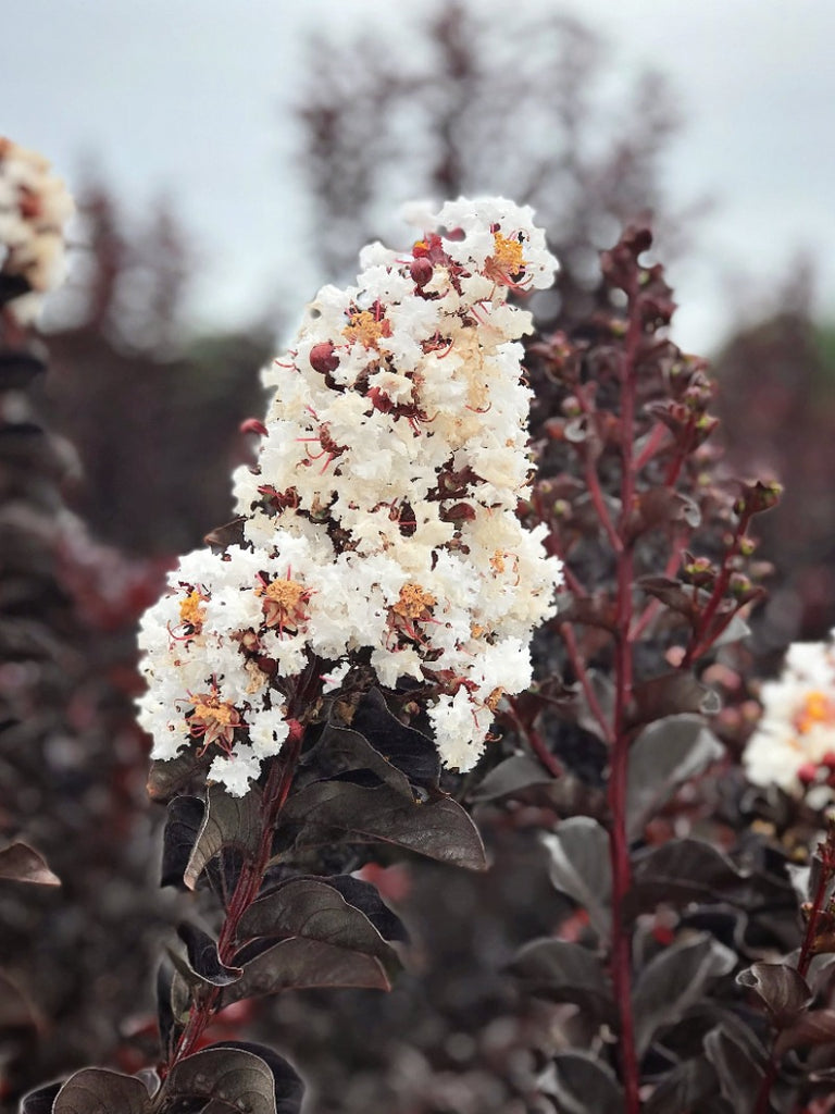 Crape Myrtle - Black Diamond Pure White