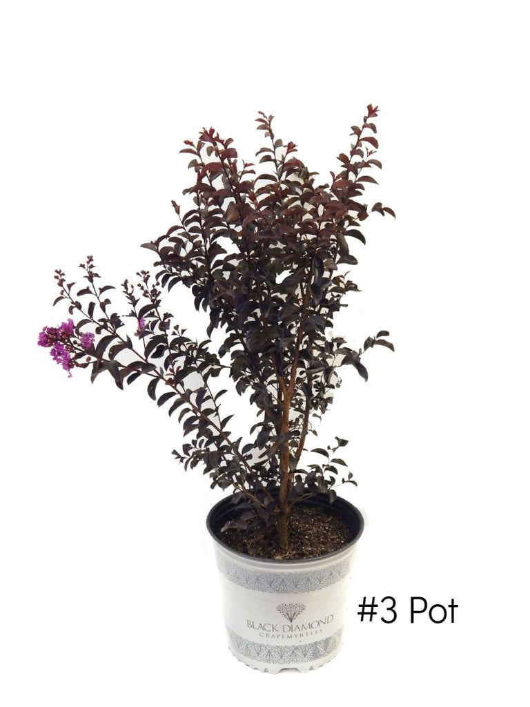 Crape Myrtle - Black Diamond Purely Purple