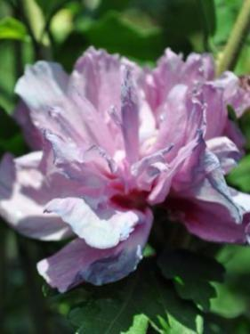 Althea Double Purple Rose Of Sharon Plant Me Green