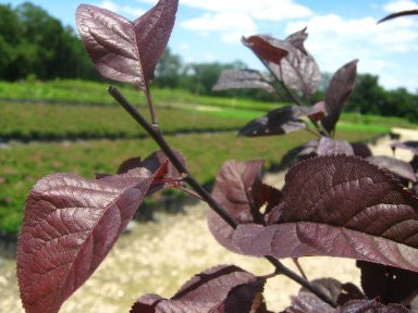 Purple Leaf Krauter Vesuvius Flowering Plum Trees