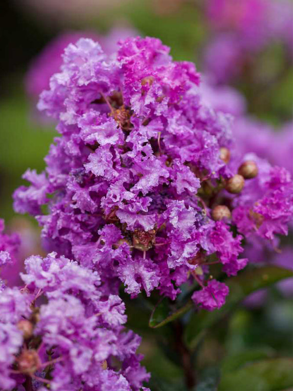Crape Myrtle - First Editions® Purple Magic