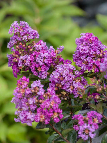 Crape Myrtle - First Editions Purple Magic