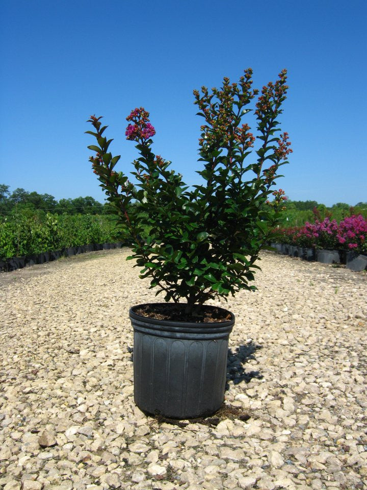 Crape Myrtle | Flowering Purple Magic