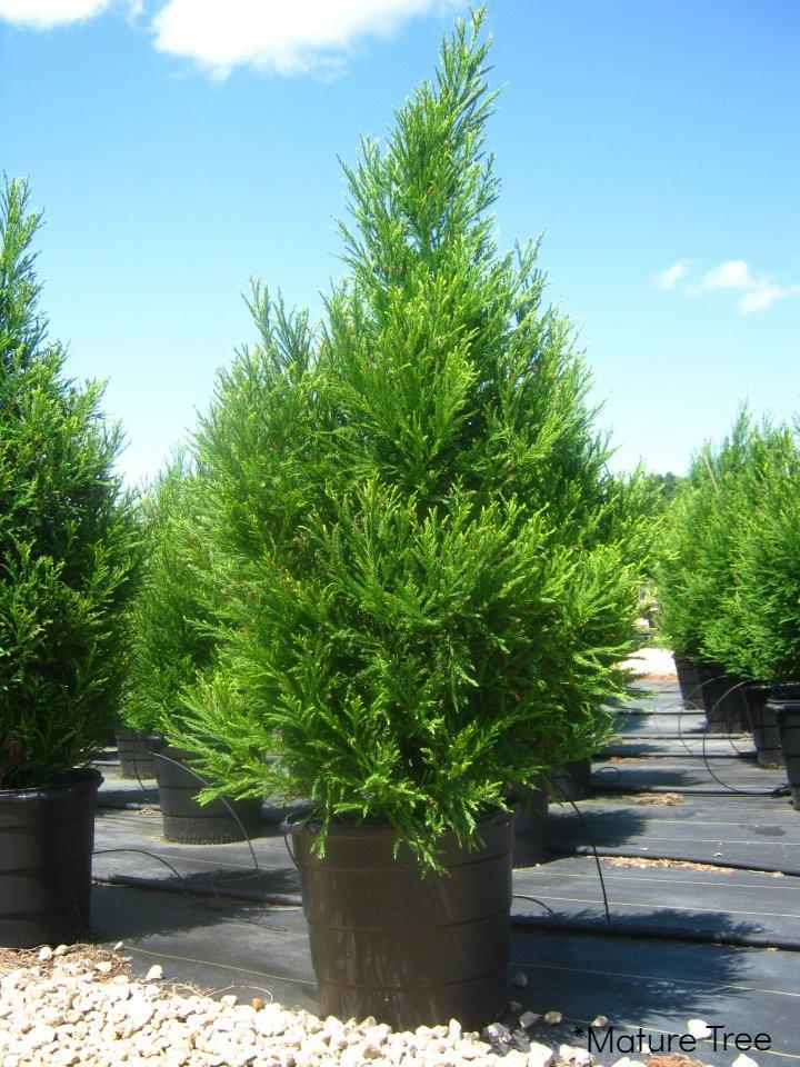 Cryptomeria Radicans Evergreen Trees