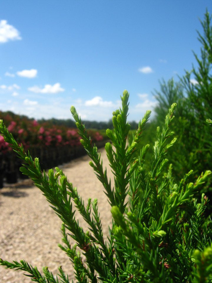 Evergreen Trees | Cryptomeria Radicans