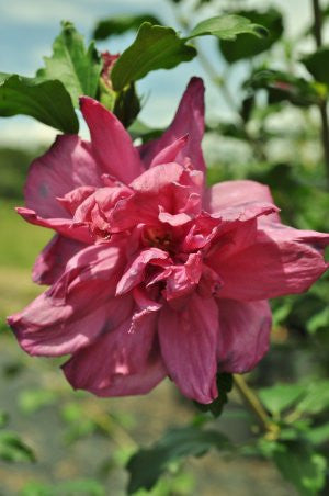 Althea Double Red Rose Of Sharon Plant Me Green