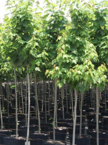 Red Simpson Select Maple Trees