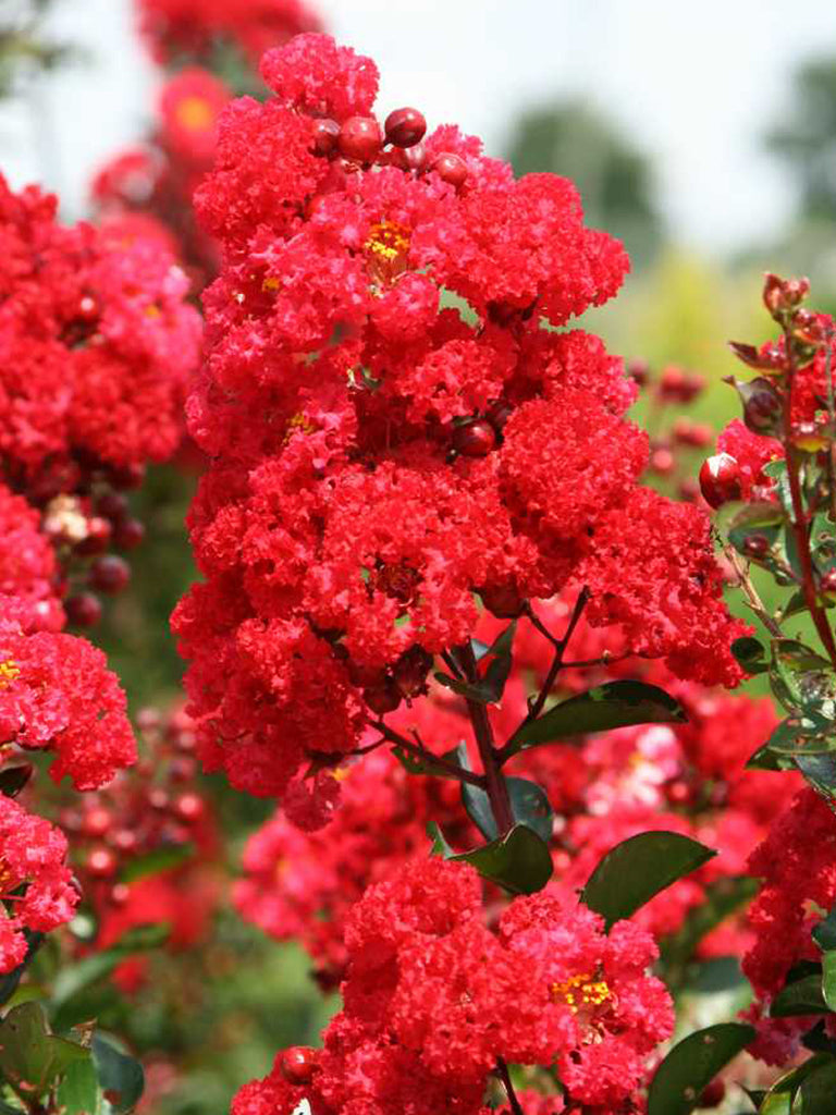 Crape Myrtle - First Editions® Ruffled Red Magic