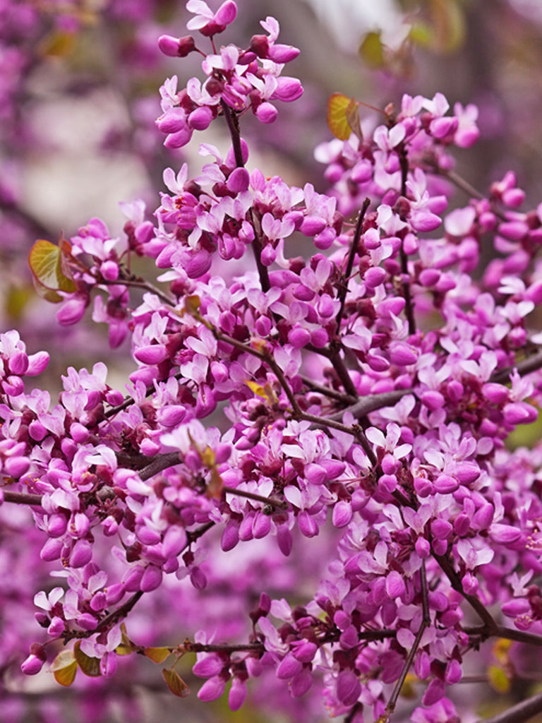 Redbud - Forest Pansy
