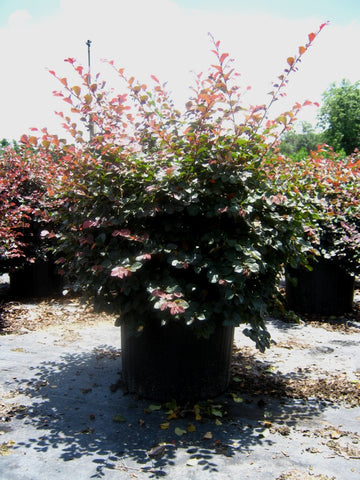 Ruby Loropetalum Evergreen Shrubs