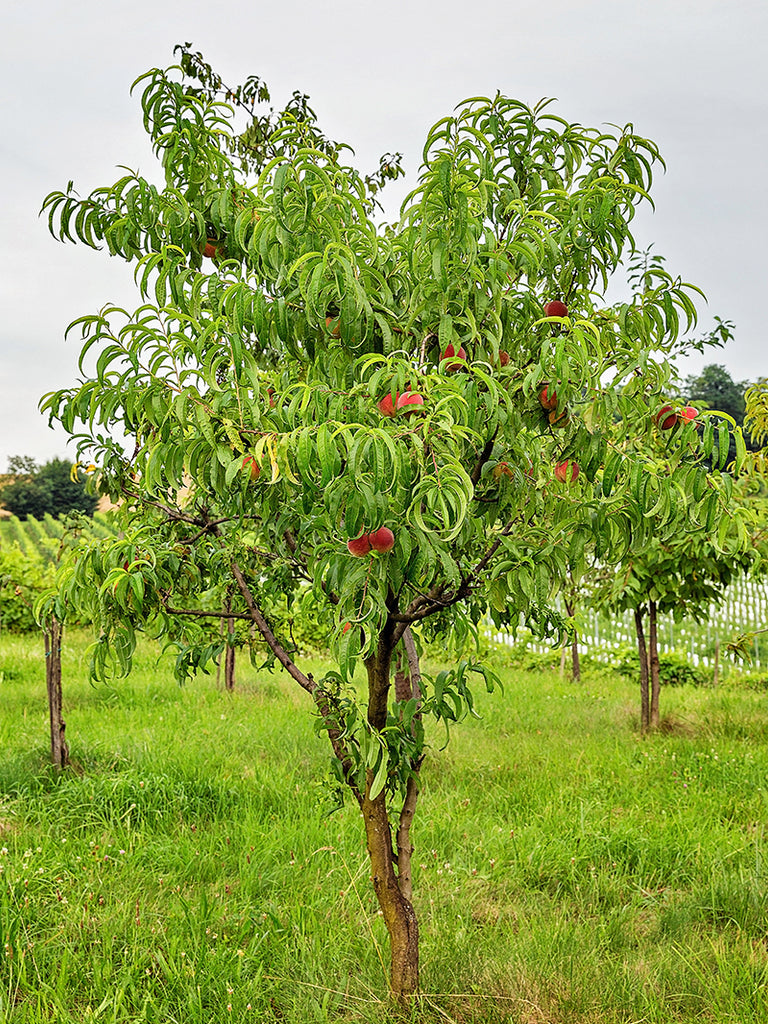 Peach Trees - Ruston Red