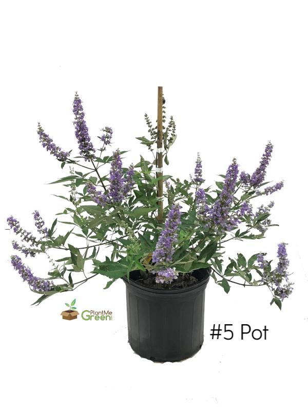 Vitex - Shoal Creek