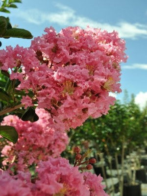 Flowering trees crape myrtle sioux plant me green mightylinksfo