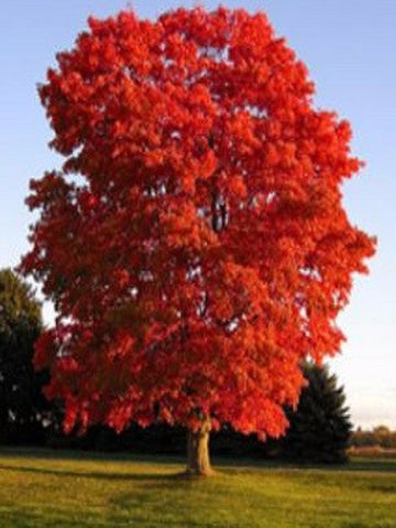 Maple Sunset Red