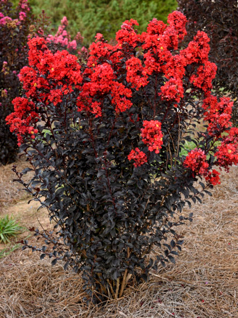 Crape Myrtle - First Editions® Sunset Magic™