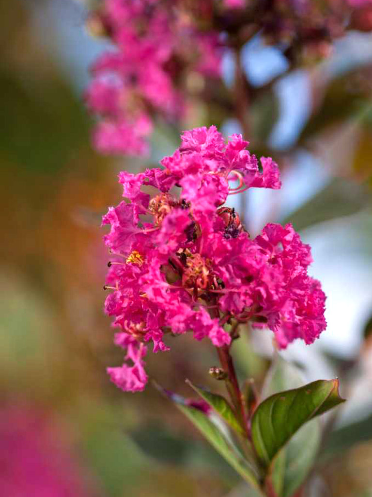 Crape Myrtle - First Editions® Twilight Magic™