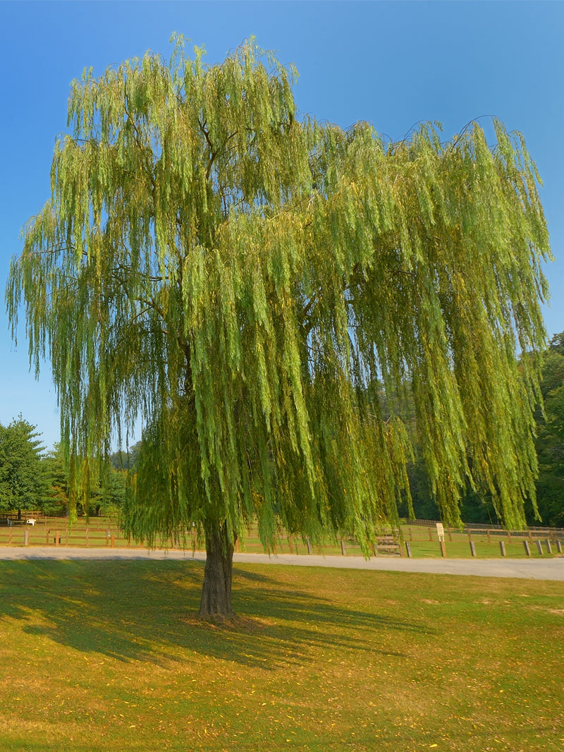 Weeping Willow Tree Cannot Ship to AZ Fast Growing Shade Trees