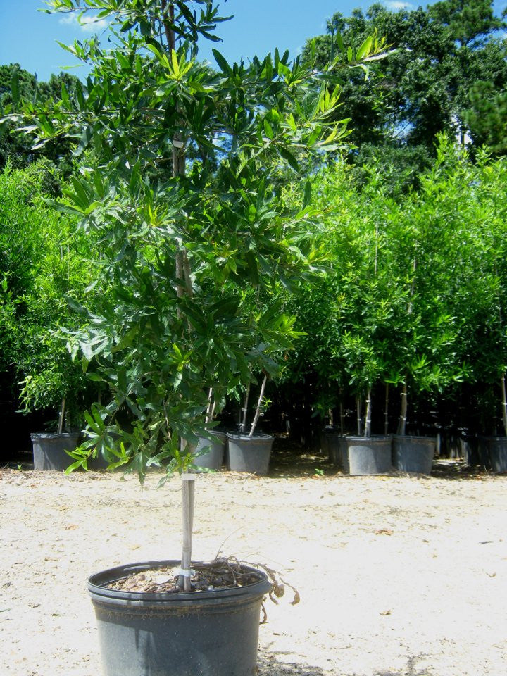 Oak Trees - Willow | Deciduous Trees