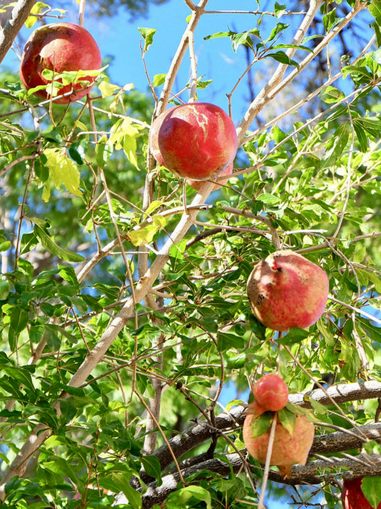 Pomegranate Trees - Wonderful