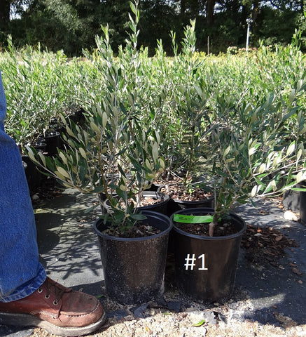 Olive trees in planters would 100 images container for Pruning olive trees in pots