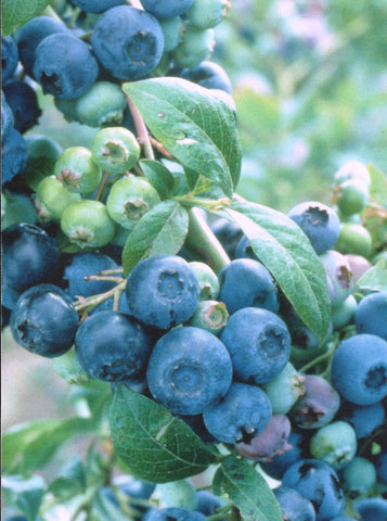 Brightwell Blueberries | Medium Sized Berries
