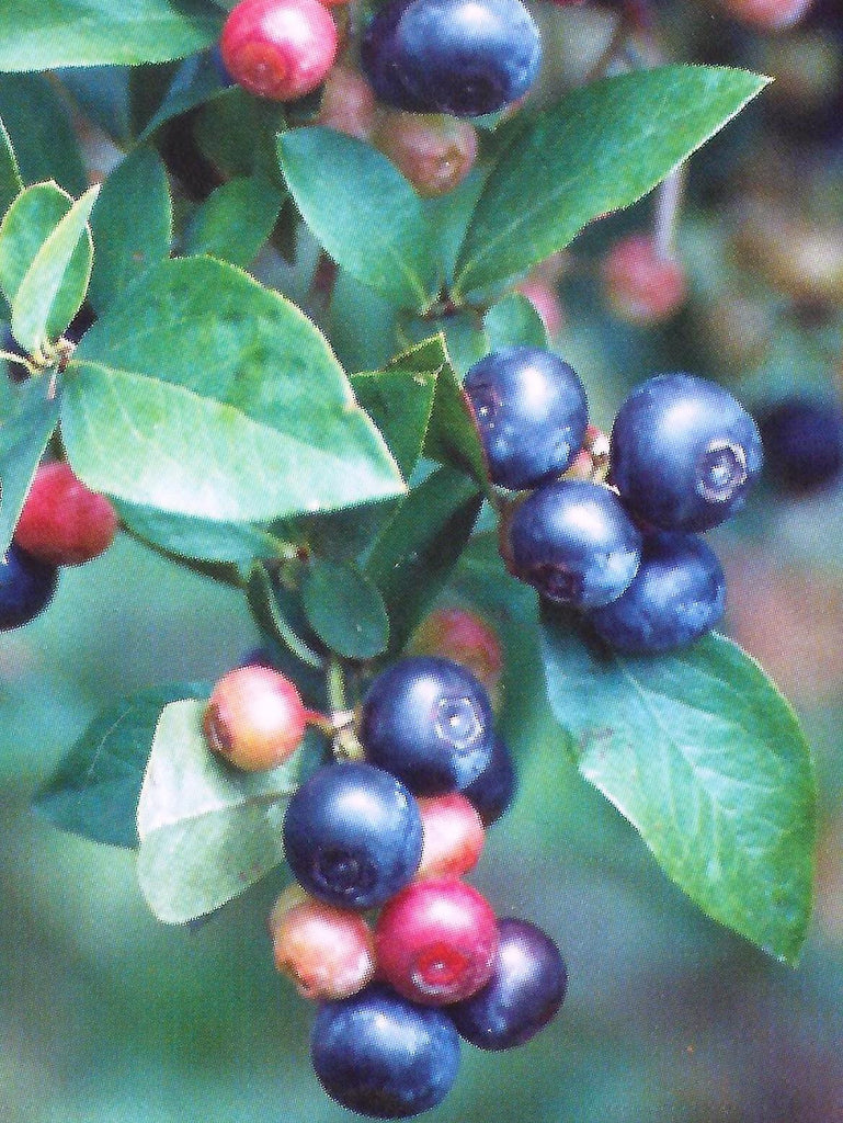 Climax Blueberries